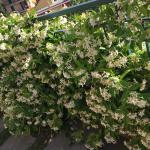 Jasmine growing along the fence which smells amazing each time you pass by.