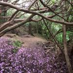 Rhododendron petals on the Faerie Trail floor
