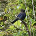 A Steller's Jay, who visited our balcony a few times. Bald Eagle flew right by, too.