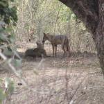 Jackals near the lake area on the property