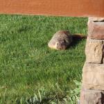 Lots of marmots around