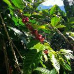 Mountain grown coffee at Hacienda Pomarrosa, beautiful.