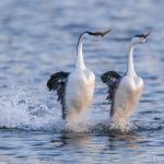 Grebe Courtship Dance