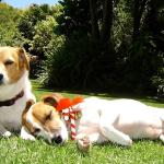 The friendly resident Jack Russels; Snoopy and Smudge