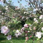 Apple Blossom at Park Farm