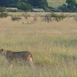 This is a lion walking by just 100 metres from the camp in the background!