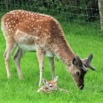 Fawn with Dad
