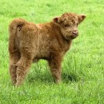 The Highland calf - an Ewok on four legs!