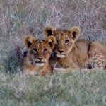 Lion Cubs pose for photo!