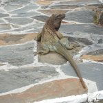 An Iguana on the path to our room
