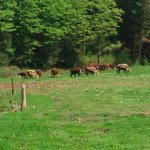 Pasture raised beef cattle graze on summer grass.
