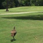 wild turkey on the move