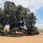 !000 year old oak tree, notice the person in its shadow, for a sense of scale
