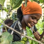 A member of the Omwani Women's Coffee Cooperative handpicking the coffee we serve at the cafe