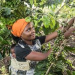A member of the Omwani Women's Coffee Cooperative picking the coffee we serve at the cafe