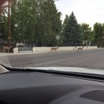 Wildlife on Alturas City street