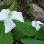 Victorian cottages and trillium flowers in spring