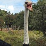 Foto de Safari Ostrich Show Farm