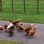 Stephen scattered some food just outside the dining room window which the chickens enjoyed.