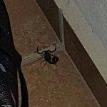 un magnifique scorpion bien vivant auprès de ma valise
