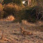Amazing Lion encounter