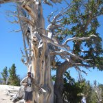 1700 year old bristlecone pine