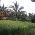 Ricepaddies