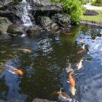 Just one of the Koi ponds.
