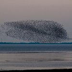 clouds of arctic shorebirds you watch right from your window