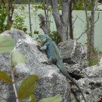 Blue Iguana posing