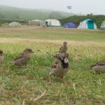 The friendly sparrows of St Martin's Campsite