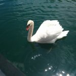 Swan at Copper Dock Winery