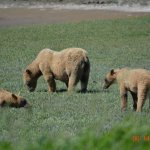 sow and 2 year old cubs