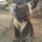 Voici le koala star du zoo, qui passe son temps à faire des photos (malgré lui)