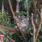 Un koala et son petit, tous 2 accrochés à une branche