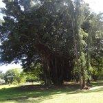 Banyan en el parque