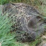 This was in the grass,a nesting ida duck.