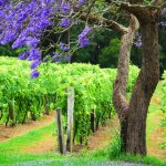 In November the Jacaranda's are out and the Vines are budding!