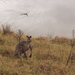 Kangaroo by the lake - outside the sitting room terrace