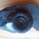 An example of what you can buy in store and the Ammonite I purchased
