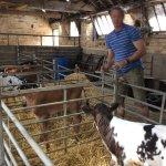 Meeting the calves.