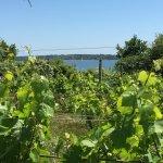 Vineyard with a view of Naragansett Bay