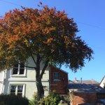 Bank House copper beech tree
