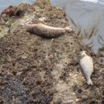 yes they are alive.... they are just laying on the rocks at point lobos.