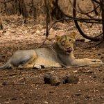 Gir Jungle Lodge Photo