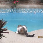 Cat getting a drink at the pool. You eat pool side here.