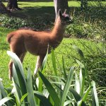 baby llama in the monastery grounds