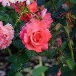 Peninsular Park Rose Garden - June 2016