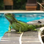 I was able to photograph this green iguana from inside the pool!