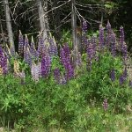 Wild Lupines on the side of the road. The tiger swallowtails were all over the place.